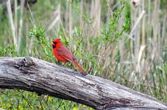 Splendor in the Grass (Paul McCarthy...) Tags: red wild nature cardinal sony habitat splendor beautifulbird teamsony flickerunitedaward sonyhx300
