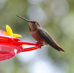 Rufous Hummingbird - EXPLORE #294, 5.6.16. (Kazooze (Thanks a 1,000,000 + views)) Tags: bird nature garden hummingbird bokeh outdoor feeder explore rufoushummingbird avianexcellence
