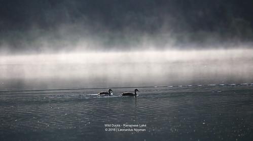 Wild Ducks - Ranamese Lake Flores island