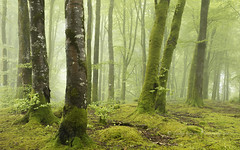 misty solitude (pixellesley) Tags: trees cloud mist green leaves mystery forest woodland landscape carpet moss spring solitude whispering quiet dartmoor beeches lesleygooding