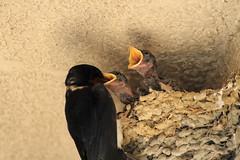 1stDay-20160531_IMG_6312 (NAMARA EXPRESS) Tags: baby bird yellow japan canon mouth eos child nest zoom sp 7d osaka swallow 70300mm tamron nib toyonaka 2015 f456 namaraexp