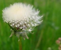 Loving (Anna's 50) Tags: dandellon flower nature macro canon g1x powershotg1x canonpowershot compact