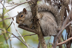 Gray squirrel eyeballing me (Explore) by Frank Oller - Mr. Squirrel posing on a branch. Location:  McCooks Beach, Niantic, CT FIle:  2016.0429-5119 Explore:  www.flickr.com/explore/2016/05/06 (long-tail)