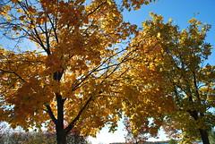 fall_265 (Sascha G Photography) Tags: autumn trees toronto color tree fall leaves leaf nikon seasons waterfront lakeshore indiansummer d60