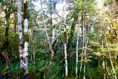 Tongariro national Trreasures (Psychic Insights) Tags: trees winter newzealand sky plant tree nature forest landscape outdoors moss outdoor serene lichen tongariro nationalparks forests