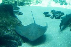 DSC04268 060816 (Xynalia) Tags: atlanta fish nature water animals georgia aquarium tank guitar rays manta