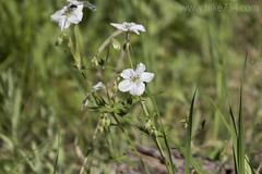"""White Geranium • <a style=""""font-size:0.8em;"""" href=""""http://www.flickr.com/photos/63501323@N07/26973627466/"""" target=""""_blank"""">View on Flickr</a>"""