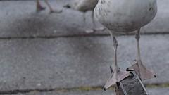 Leggy bird (janewynyard) Tags: ireland seagulls bird feet birds seaside legs humour leggy