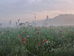 early in the misty, misty morning (peterpe1) Tags: mist misty fog flickr nebel poppy morgen mohn fokussiert hohequalität peterpe1
