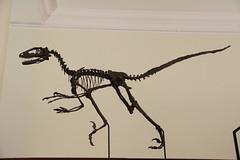 Dinosaur (Benny Hünersen) Tags: cambridge england maj may 2016 ferie sedgwick museum earth science dinosaur bones skelet skeleton