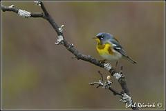 Northern Parula (Earl Reinink) Tags: ontario bird spring nikon niagara earl warbler birdphotography parula nikond5 wabler earlreinink reinink naturephotographynorthern parulanorthern edodoaodra