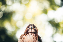 Talkin' to me? (sp4rty) Tags: france bird eagle f2 135 var aigle toulon faucon revest 135mmf2 5d3 canon5dmark3