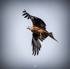 Red-Kite (m8oxy) Tags: flight hertford soar redkite sacombe