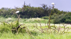 Little Egret pair (166/366) (AdaMoorePhotography) Tags: wild england panorama white tree bird nature animal nikon natural wildlife pair essex stitched littleegret 366 coalhousefort 200500mm coalhouse
