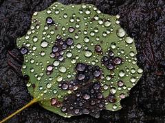Just Leaves (All Shine) Tags: texture nature leaf drops justleaves macromondays