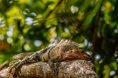 Nicaragua-45 (s4rgon) Tags: cornisland ensueños iguana insel karibik leguan nicaragua regiónautónomadelatlántico regiónautónomadelatlánticosur ni