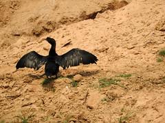 Cormorant (kaushb) Tags: cormorant santiniketan