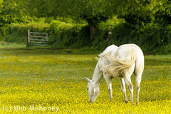On My Way to Work (Horses) (BobMah) Tags: morning horse field spring commuting buttercups 7d2