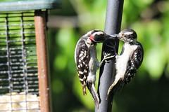 Learning About Suet (Moschell) Tags: 2016 downey woodpecker backyard birds