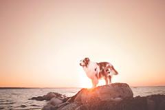 Zion the KING (Alicja Zmysowska) Tags: sunset sea dog pet pets sunlight beach dogs water landscape denmark golden seaside rocks shepherd australian hour aussie scandinavia rocksd