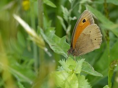 Meadow Brown (ukstormchaser (A.k.a The Bug Whisperer)) Tags: uk brown animal animals june butterfly insect afternoon wildlife meadow butterflies insects milton keynes