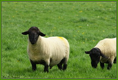 Newly shed! (K. Haagestad) Tags: animals sheep yorkshire pasture ram tup woolen