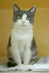 Daffodil_03 (AbbyB.) Tags: rescue pet cat newjersey feline shelter adopt adoptable shelterpet petphotography easthanovernj mtpleasantanimalshelter
