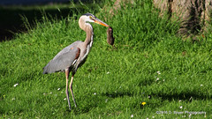 Juvenile Great Blue Heron (dinaboyer) Tags: juvenile great blue heron eating gopher ardea herodias