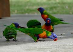 birds 2 (Toni O'Connor2010) Tags: birds rainbow australia lorikeets