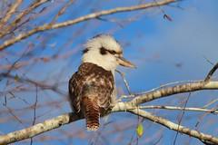 Old Man Kookaburra (alisonrobinson) Tags: bird wildlife australia kookaburra blueskys birdintree
