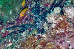 Lion fish hiding in the coral (3scapePhotos) Tags: africa tanzania animal animals continent coral diving fish hiding indian island lion lionfish ocean safari scuba tropical underwater zanzibar