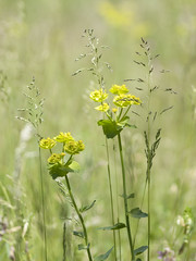Euphorbes des champs -*---  (Titole) Tags: field grass weeds grasses wildflowers euphorbes thechallengefactory titole nicolefaton