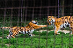 Who's quicker (icanhascamera) Tags: veszprem veszprm hungary zoo pentax k50 animal animals tiger tigers tigress cat cats big ichc