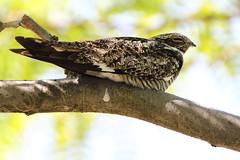 Sleepy common nighthawk, Chordeiles minor (jlcummins - Washington State) Tags: bird nature wildlife pacificnorthwest washingtonstate commonnighthawk chordeilesminor bentoncounty coth brilliantnature eiap alittlebeauty coth5 sunshinegroup