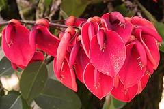 Flores del ceibo. Mayo 31 de 2016 (Nivaldo de Jesus Arenas Correa) Tags: flores flor picodegallo ceibo erythrinacristagalli gallito flordecoral bucaré elceibo sananduva árboldelcoral floresdelceibo árboldelasubfamiliafaboideae ceíbo