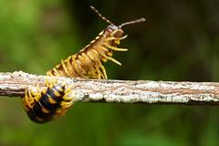 DSC_2671 - Version 3 (jacksl1) Tags: macro nikon insects millipede tokina100mmf28atxprod d7000