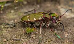 Green Tiger Beetle (steb1) Tags: macro insect beetle canonmpe65mm coleoptera cicindelacampestris carabidae greentigerbeetle concavediffuser preesheathcommon yongnuoyn14ex macroliteconcavediffuser