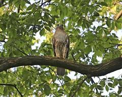 Christo (Goggla) Tags: nyc new york manhattan east village tompkins square park urban wildlife bird raptor red tail hawk adult male christo goglog