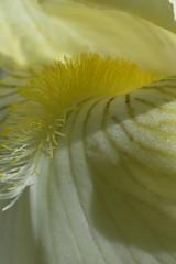 Iris (kristinazeidlitz) Tags: iris plant flower macro yellow garden stamens pistils