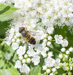 Syrphe (Yoann_R) Tags: france flower nature fleurs 35mm plante nikon f18 loire campagne rhnealpes d5300 saintalbanleseaux