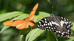 A102 Two Butterflies (ralph miner) Tags: butterfly chicagobotanicgarden juliabutterfly