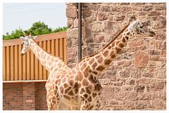 "Giraffe ""pushmi-pullyu"" (GadgetHead) Tags: giraffe pushmipullyu chesterzoo cheshire zoo nikon nikond3100 d3100 dslr 55300mmvrlens 55300mmf4556 55300mmlens 55300mmvrf4556 55300mm northwest northwestengland england uk unitedkingdom gb 2016"