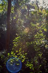 Auto-Tak flare (OzzRod) Tags: trees lens pentax flare vegetation backlighting intothesun glenrock k50 autotakumar35mmf23
