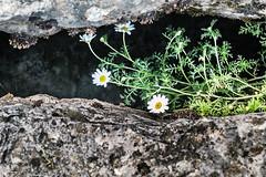 Entre piedras (cmarga28) Tags: flores flowers margaritas piedras rocas macro cerca mnaturaleza foto color colour photography belleza sencillez delicada nikon digital raw d750