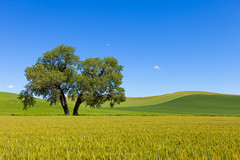 That Old Cottonwood Tree of Palouse (Ding Ying Xu) Tags: tree countryside wheat bluesky cottonwood fields lonely agriculture washingtonstate lonetree palouse