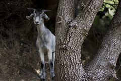 I know a place, and it's full of colours... (bernat.rv) Tags: tree gris gray free goat rbol cabra libre