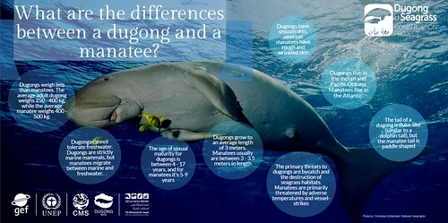 Dugong infographic