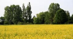 05-IMG_2430 (hemingwayfoto) Tags: blhen blte gelb landschaft landwirtschaft natur raps