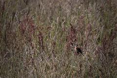 Linaria cannabina (Mikkelmusiker) Tags: summer male bird canon eos mark ii 7d usm fugl han bornholm linaria cannabina f56l sisken knudsker ef400mm puttegrden tornsisken