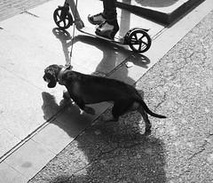 DogsLife is not easy; sometimes (Christof Timmermann) Tags: barcelona streetfotografie blackwhite olympuspen dog christof timmermann